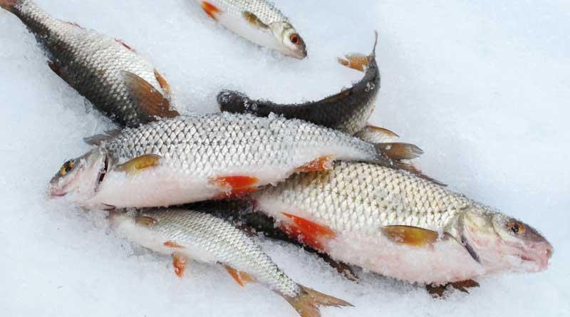 хороший улов плотвы по первому льду