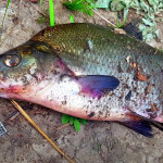 рыбалка на леща летом на фидер