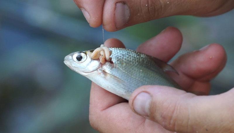 разведение опарыша для рыбалки