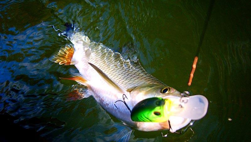 Ловля голавля на спиннинг - читайте на Сatcher.fish