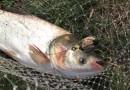 Методы ловли толстолобика в пруду