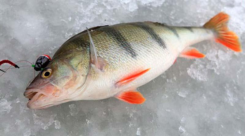 Особенности рыбалки в холодный период года: каковы нюансы ловли окуня зимой? Обучающее видео
