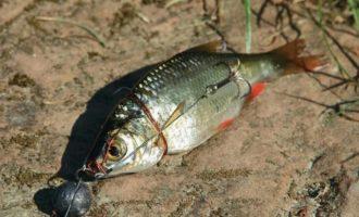 Снасточки для ловли на мертвую рыбку