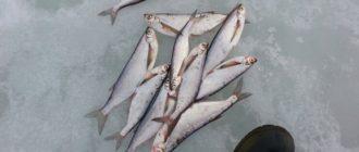 Ловля чехони зимой: советы опытного рыбака