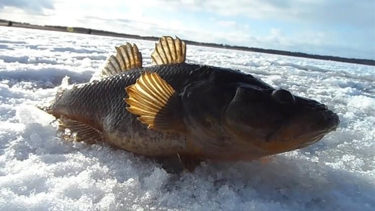 Ловля крупного ротана со льда
