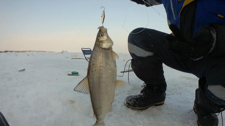 Ловля сига зимой со льда