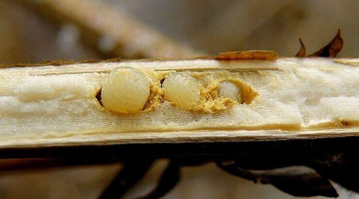 Личинка репейной моли (чернобыльника)